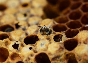 honey-bees-335906_640